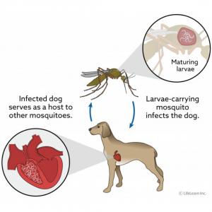 seychelles, heartworm, seychelles spca, seychelles animal diseases